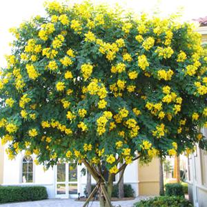 بذر درخت سنا رقم spectabilis