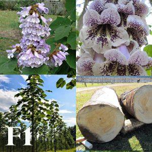 آموزش ویدئویی کاشت بذر درخت پائولونیا