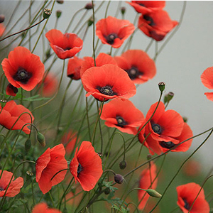 بذر گل شقایق قرمز وحشی