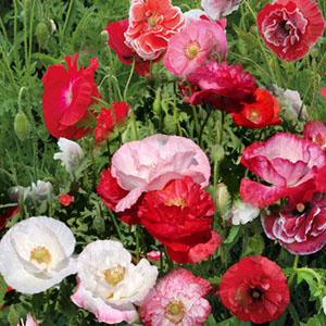 بذر گل شقایق گل درشت الوان