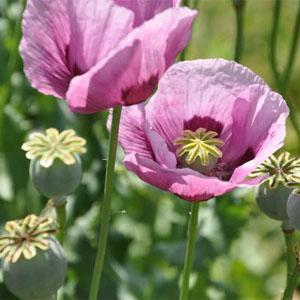 بذر گل شقایق خشخاش