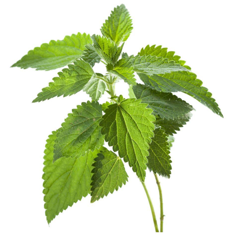 در مورد گیاه دارویی گزنه