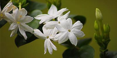 گل یاس رازقی
