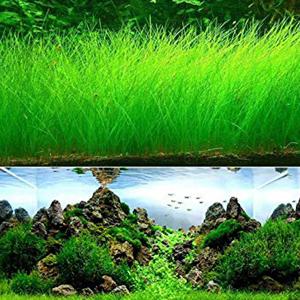 بذر چمن آکواریومی الوکاریس