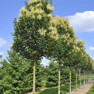 بذر درخت دائم سبز برگ نو