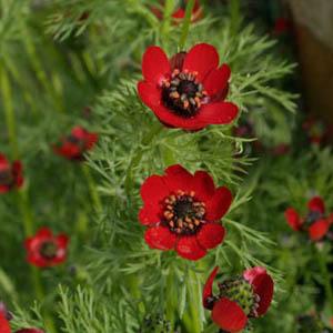 بذر گل آدونیس