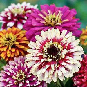 بذر گل آهار دو رنگ الوان