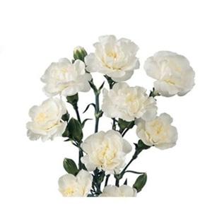بذر گل میخک پرپر گلدرشت سفید