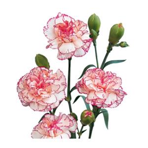 بذر گل میخک پرپر گلدرشت دورنگ