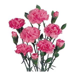 بذر گل میخک پرپر گلدرشت صورتی