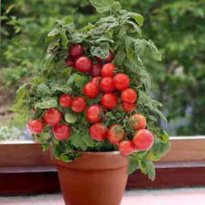 بذر گوجه گیلاسی گلدانی