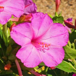 بذر گل لاله عباسی صورتی