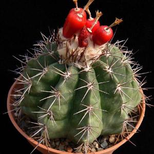 بذر ملو کاکتوس Caesius