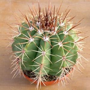 بذر ملو کاکتوس broadwayi