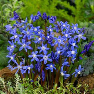 نحوه کاشت و نگهداری پیاز گل Chionodoxa sardensis
