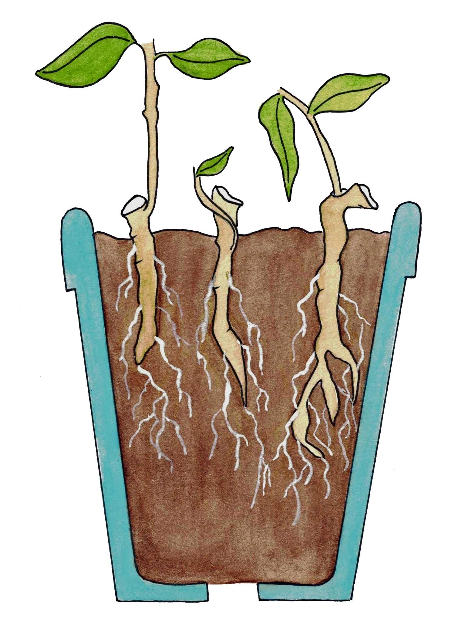 خاک مناسب ریشه دارکردن قلمه