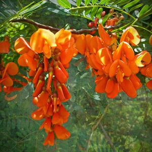 بذر درختچه Sesbania punicea