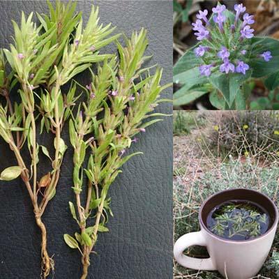 بذر گیاه دارویی خوش عطر کاکوتی