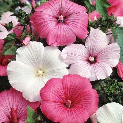 بذر گل لاواترا الوان