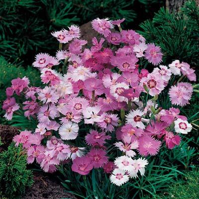 بذر گل میخک پلوماریس