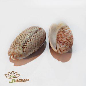صدف دریایی مالوک متوسط کدs802