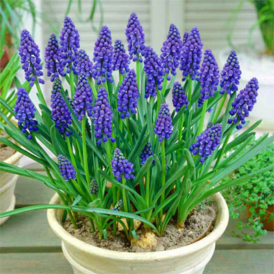 بذر گل موسکاری بنفش