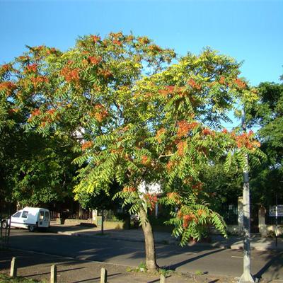 بذر درخت عرعر