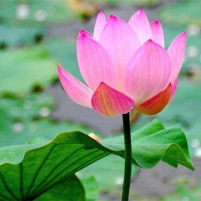 بذر گل نیلوفر آبی رنگ صورتی ۱ عددی