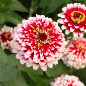 بذر گل آهار گلدرشت پاکوتاه دورنگ قرمز و صورتی