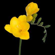 پیاز گل فریزیا زرد ۳ عددی