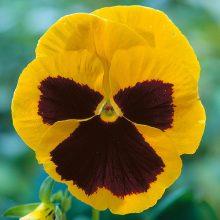 بذر گل بنفشه زرد خالدار گلدرشت ایرانی