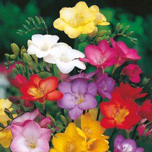 خرید پیاز گل فرزیا سال ۹۹
