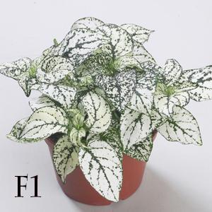 بذر گل سنگ سفید پاکت اورجینال پان آمریکن ۱۰۰۰ عددی