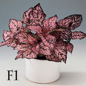 بذر گل سنگ صورتی پاکت اورجینال پان آمریکن ۱۰۰۰ عددی
