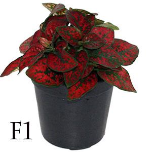 بذر گل سنگ قرمز پاکت اورجینال پان آمریکن ۱۰۰۰ عددی