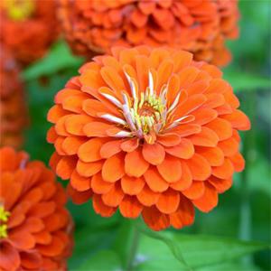 بذر گل آهار گلدرشت پاکوتاه نارنجی