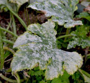 درمان سفیدک پودری گیاهان