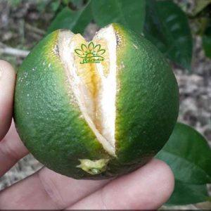 دلیل ترک خوردن پرتقال