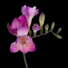 پیاز گل فریزیا صورتی ۳ عددی