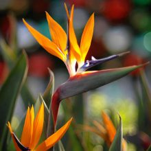 بذر گل پرنده بهشتی یا استرلیتزیا گل نارنجی