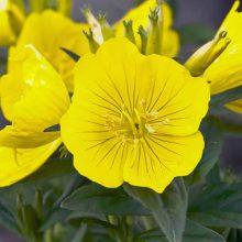 بذر گل مغربی زرد