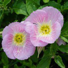 بذر گل مغربی صورتی