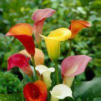 پیاز گل شیپوری