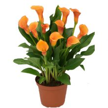 پیاز گل شیپوری هلندی نارنجی