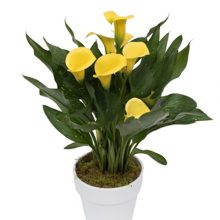 پیاز گل شیپوری هلندی زرد