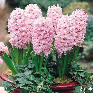 خرید پیاز گل سنبل سال ۹۸