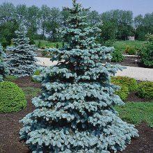 بذر درخت نوئل نقره ای