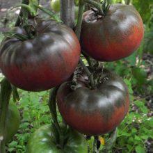 بذر گوجه سیاه روسی