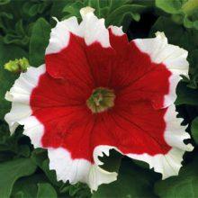 بذر گل اطلسی گلدرشت قرمز لب سفید