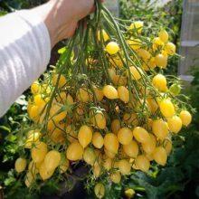 بذر گوجه گیلاسی زرد دیوانه